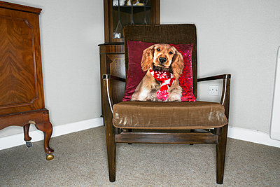 Dog portrait on cushion placed on chair - p1057m1586848 by Stephen Shepherd