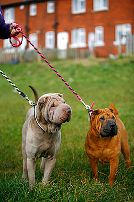 Shar Pei dogs - p343m963911 by Rii Schroer