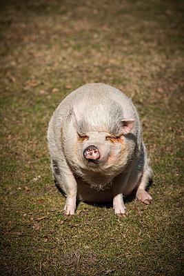 Sitzendes Schwein - p403m890185 von Helge Sauber
