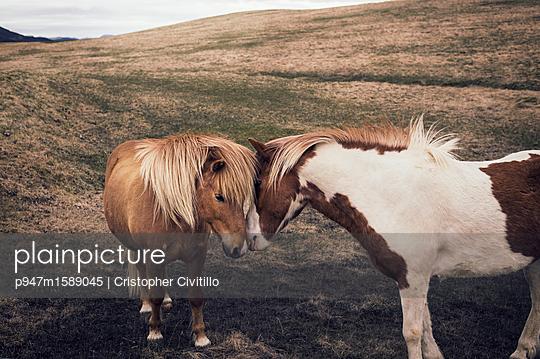 Zwei Islandpferde - p947m1589045 von Cristopher Civitillo