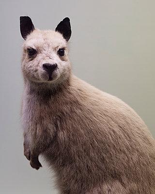 kangaroo - p1214m1531773 by Janusz Beck