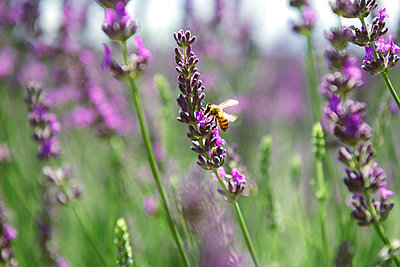 France, Provence, close-up of bee on a lavender flower in the summer - p300m2012550 by Gemma Ferrando