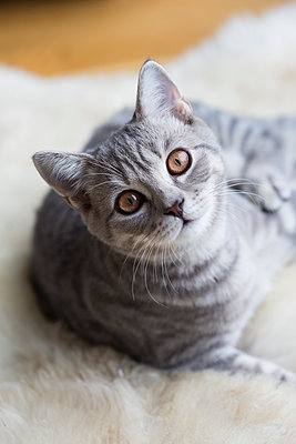 Portrait of tabby British shorthair kitten - p300m2042120 by JLPfeifer