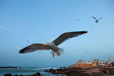 Close up of sea gull in front of coastal fort, Essaouira, Morocco - p429m999616 by RUSS ROHDE