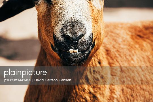 Ziege Nahaufnahme - p1085m1441422 von David Carreno Hansen