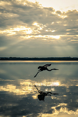Heron at Sunset on Bay  - p1019m2100435 by Stephen Carroll