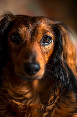 Close-up of young dachshund looking directly in to camera - p1047m2288950 by Sally Mundy