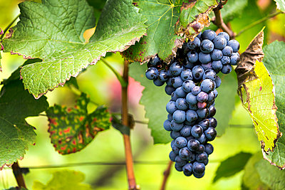 Cluster of purple grapes hanging from the vine; Caldaro, Bolzano, Italy - p442m1580453 by Michael Interisano