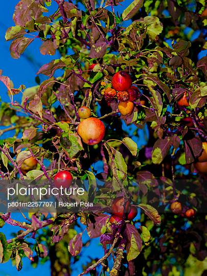 Apple tree with ripe apples - p801m2257707 by Robert Pola