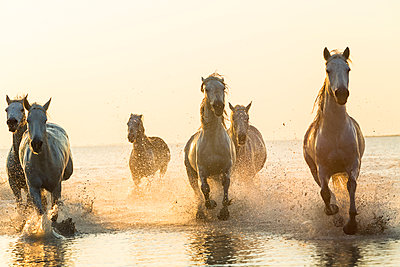 Medium group of white horses running in the ocean. - p1100m1520256 by Mint Images