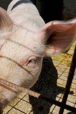 Pig - p1105m2082521 by Virginie Plauchut