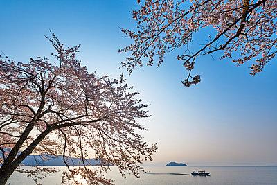 Cherry blossoms in full bloom at Lake Biwa, Shiga Prefecture, Japan - p307m1495897 by MATSUO.K