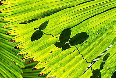 Licuala Fan Palm frond and leaf shadow - p884m863617 by Konrad Wothe