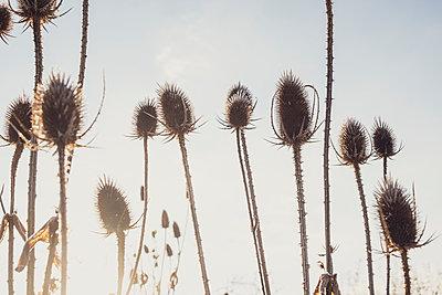 Teasel plants in winter - p1057m2037586 by Stephen Shepherd