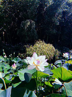 Lotus flower - p1189m2263777 by Adnan Arnaout