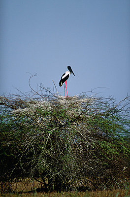 A saddle-bill stork - p5750215f by Anders Haglund