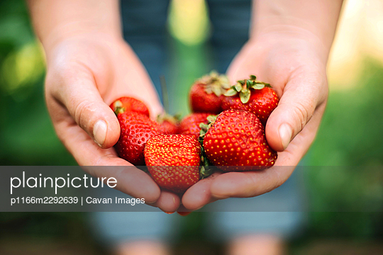 Close up shot of a person hands picking strawberries - p1166m2292639 by Cavan Images