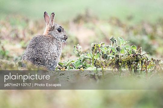 Rabbit on Skomer Island, Pembrokeshire Coast National Park, Wales, United Kingdom - p871m2113717 by Photo Escapes