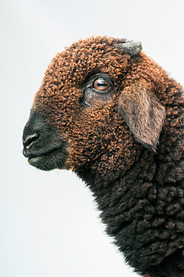 Steinschaf sheep, Ovis aries - p1437m2052883 by Achim Bunz