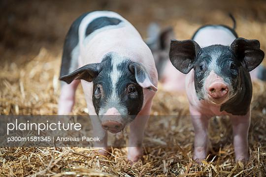 Germany, Farrows on farm - p300m1581345 von Andreas Pacek