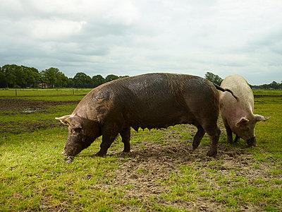 Schweine - p1188m1002865 von Henk Wildschut