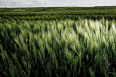 Barley - p1221m1028488 by Frank Lothar Lange