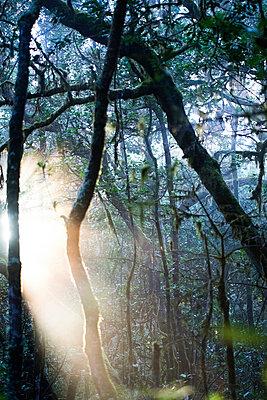 Lichteinfall im Nebelwald I - p161m902908 von Kerstin Schomburg