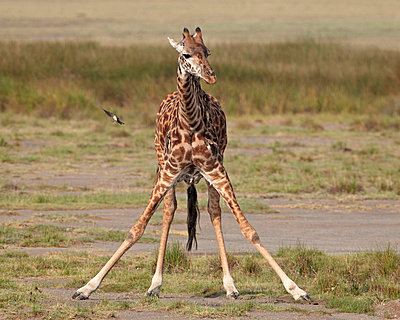 Masai giraffe (Giraffa camelopardalis tippelskirchi) drinking - p8714045 by James Hager