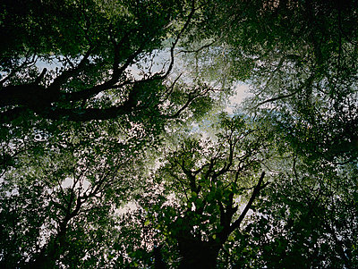 Treetops in the forest, worm's eye view - p885m2177919 by Oliver Brenneisen