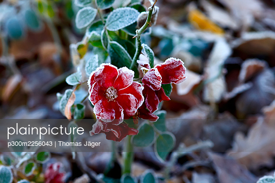 Red frosted flowers in winter - p300m2256043 by Thomas Jäger