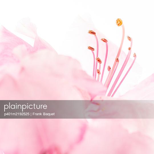 Rhododendronblüte - p401m2192525 von Frank Baquet