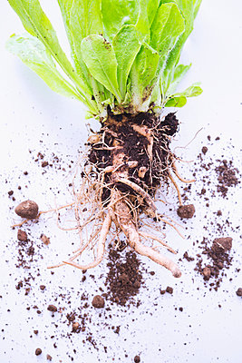 Salad plant with roots - p1149m2038770 by Yvonne Röder