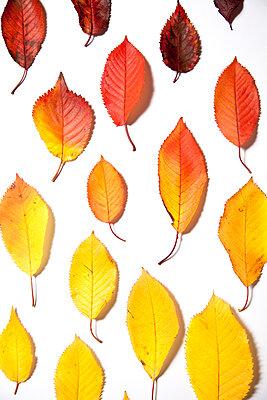 Arrangement einzelner Herbstblätter - p1248m1185567 von miguel sobreira