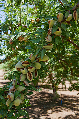 Agriculture - Mature almonds on the tree, still in the husks and ready to be shaken from the tree and harvested / near Newman, California, USA. - p442m961415 by Ed Young