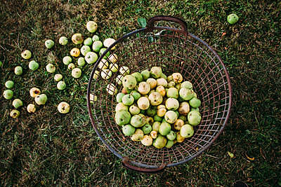 Basket with ripe apples - p586m1068151 by Kniel Synnatzschke