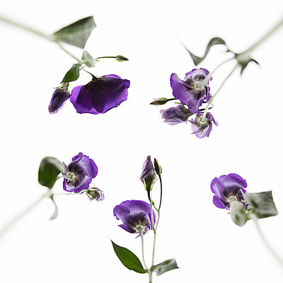 Lisianthus flowers from below - p824m2116915 by jochen leisinger