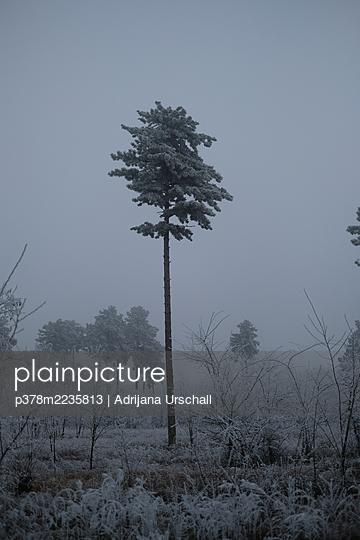 Tall pine tree - p378m2235813 by Adrijana Urschall