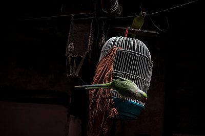 Green parrot and white cage - p1007m1144360 by Tilby Vattard