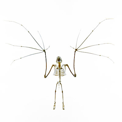 Fledermausskelett - p415m698231 von Tanja Luther