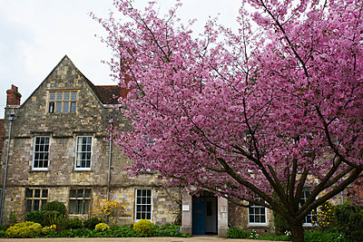 House and tree full of pink blossoming; Winchester, Hampshire, England - p442m961558 by Chris Caldicott