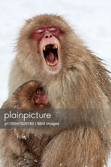 Japanese Macaque, Macaca fuscata, mother and young snow monkey huddling together, the adult monkey with her mouth wide open.  - p1100m1520183 by Mint Images