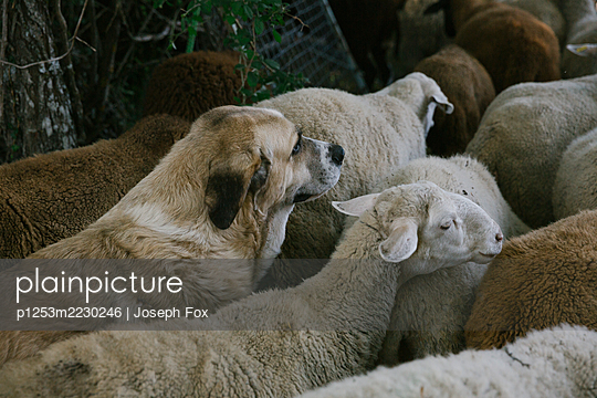 Spain, Cantabria, Guard dog and sheeps - p1253m2230246 by Joseph Fox