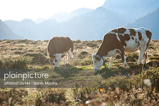 Cows on the alp - p533m2100144 by Böhm Monika