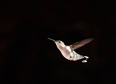 Close up of a hummingbird in flight against a black background. - p1166m2290171 by Cavan Images