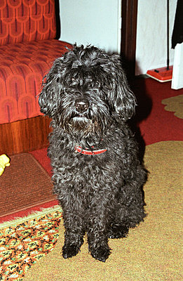 Poodle - p2580031 by Katarzyna Sonnewend