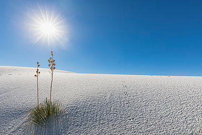 USA, New Mexico, Chihuahua Desert, White Sands National Monument, soap trees on desert dune - p300m1417163 by Fotofeeling