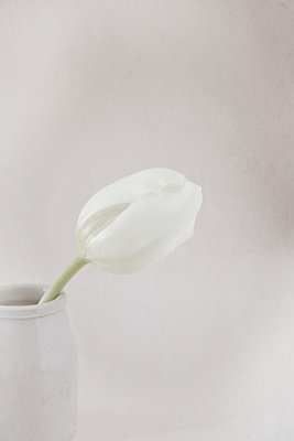 Close up of a white tulip in stoneware pot - p1470m1539186 by julie davenport