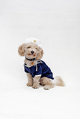 A mixed breed dog wearing a sailor suit and sailor hat - p301m731108f by Winnie Au