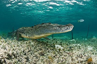 American crocodile, Chinchorro biosphere reserve, Quintana Roo, Mexico - p429m1012859f by Rodrigo Friscione
