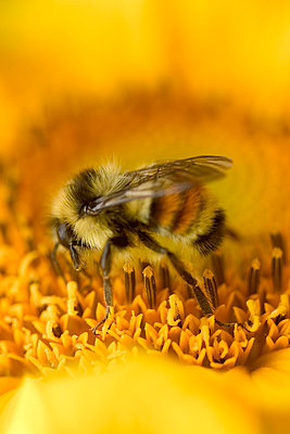 Closeup of a bee on a flower - p4420705f by Design Pics